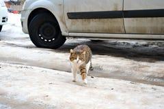 Gatto della via con una zampa alzata fotografia stock libera da diritti