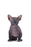 Gatto dello Sphinx Immagine Stock