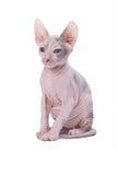 Gatto dello Sphinx Fotografia Stock