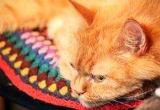 Gatto dello zenzero che guarda giù Il gatto si trova su una sedia e giù fotografia stock libera da diritti