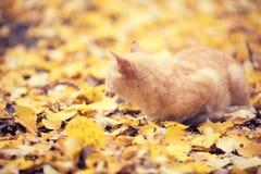 Gatto dello zenzero che si siede sulle foglie cadute fotografie stock libere da diritti