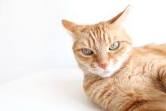 Gatto dello zenzero che si trova seriamente e che guarda Gatto sveglio con gli occhi verdi fotografia stock