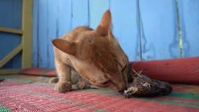 Gatto dello zenzero della via che mangia la testa del pesce stock footage