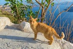 Gatto dello zenzero su una roccia sopra il mare Fotografia Stock Libera da Diritti