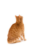 Gatto dello zenzero visto dalla parte posteriore fotografie stock
