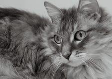 Gatto di Allie in bianco e nero Fotografia Stock Libera da Diritti