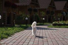 gatto di angora Fotografia Stock