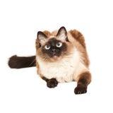 Gatto di balinese Immagine Stock