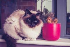 Gatto di birmano che si siede sul davanzale della finestra con il cactus Fotografia Stock