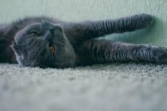 Gatto di Britanno Fotografia Stock