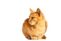Gatto di Brown Fotografia Stock