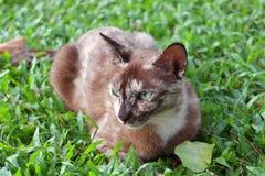 Gatto di Brown che si siede sull'erba verde Fotografia Stock