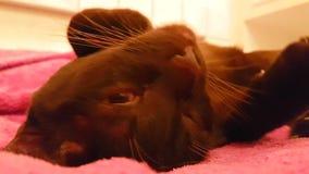Gatto di Brown, ferro, mani con la Birmania archivi video