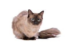 Gatto di Brown Ragdoll Fotografia Stock