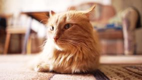 Gatto di Brown, Tabby Male Cat rossa, Ginger Cat stock footage