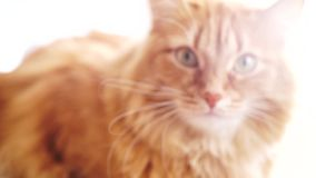 Gatto di Brown, Tabby Male Cat rossa, Ginger Cat video d archivio