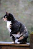 Gatto di calicò Fotografia Stock Libera da Diritti