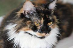 Gatto di calicò Fotografie Stock Libere da Diritti