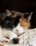 Gatto di calicò che dorme in un punto soleggiato Fotografia Stock Libera da Diritti