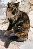 Gatto di calicò greco Fotografia Stock
