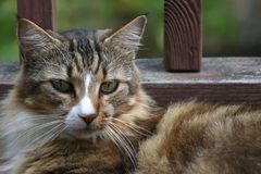 Gatto di calicò di riposo Fotografia Stock Libera da Diritti