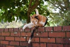 Gatto di calicò selvaggio che sembra colpevole Fotografia Stock Libera da Diritti
