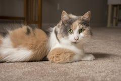 Gatto di calicò smorzato fotografia stock