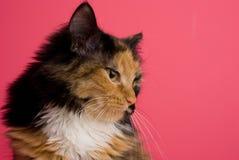 Gatto di calicò sul colore rosa 2 Immagini Stock