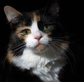Gatto di calicò sul nero Fotografie Stock Libere da Diritti