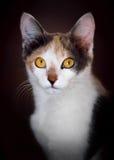 Gatto di calicò sveglio Fotografie Stock Libere da Diritti