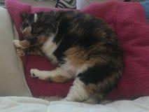 Gatto di calicò, tricolore, pelo delle prese Immagini Stock