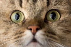 Gatto di casa curioso Fotografia Stock Libera da Diritti