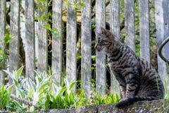 Gatto di casa grigio fuori Immagine Stock