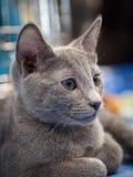 Gatto di Chartreux Immagine Stock