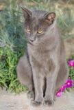 Gatto di Chartreux sui fiori Fotografia Stock