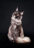 Gatto di coon americano della Maine Immagine Stock Libera da Diritti