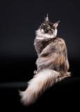 Gatto di coon americano della Maine Fotografie Stock