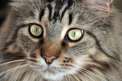 Gatto di Coon della Maine Fotografia Stock