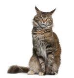 Gatto di coon della Maine, 3 anni Fotografia Stock
