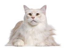 Gatto di Coon della Maine, 3 anni Immagine Stock