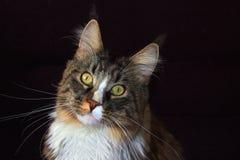 Gatto di Coon della Maine immagine stock