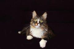 Gatto di Coon della Maine immagini stock