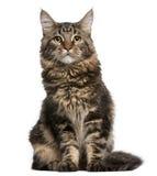 Gatto di Coon della Maine, 6 mesi, sedentesi Fotografia Stock