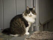 Gatto di Coon della Maine Fotografia Stock Libera da Diritti