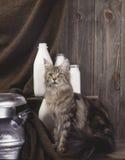 Gatto di Coon della Maine Fotografie Stock Libere da Diritti