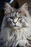 Gatto di Coon di razza della Maine Fotografia Stock Libera da Diritti
