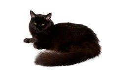 Gatto di coon nero della Maine Immagine Stock