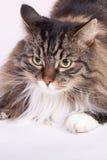 Gatto di coon principale Fotografia Stock