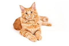 Gatto di Coon rosso della Maine della pelliccia Fotografie Stock Libere da Diritti