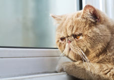 Gatto di CPA che osserva fuori attraverso una finestra Fotografia Stock